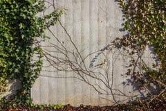 Pared de Quasiconcrete con verde de la hiedra en un día soleado del advenimiento de diciembre Foto de archivo libre de regalías