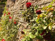 Pared de rosas imagen de archivo libre de regalías