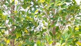 Pared del árbol bayan con efectuado de luz del sol imágenes de archivo libres de regalías
