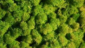 Pared del musgo de reno, decoración verde de la pared hecha de rangiferina del Cladonia del liquen de reno almacen de metraje de vídeo