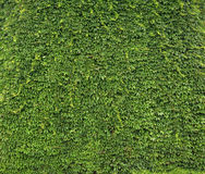 Pared natural hecha de hojas Imagenes de archivo