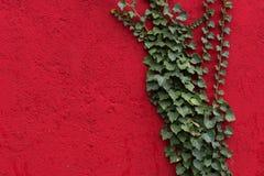 Pared roja con las hojas verdes como fondo, textura Planta verde de la hiedra contra superficie roja Contraste rojo y verde imagen de archivo libre de regalías