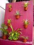 Pared rosada del cactus Fotos de archivo