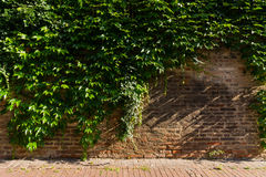 Pared simple de Ivy Vine Growth Facing Brick imagen de archivo