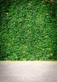 Pared verde de la hiedra Imagen de archivo libre de regalías