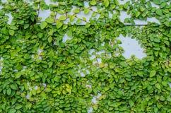 Pared verde de la hoja como fondo Foto de archivo libre de regalías
