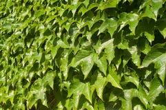 Pared verde de las hojas Foto de archivo libre de regalías