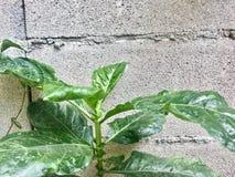 Pared verde del cemento del árbol fotografía de archivo