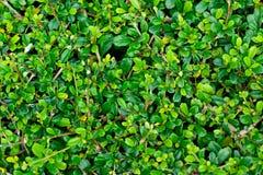 Pared verde hermosa de la hoja para el fondo Fotos de archivo libres de regalías