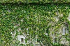 Pared vieja adornada con el backgr fresco verde del retusa de Carmona de las hojas Foto de archivo