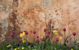 Pared y tulipanes Fotografía de archivo libre de regalías