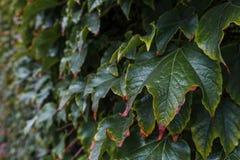 A parede é coberta com as folhas da uva do outono Fotografia de Stock