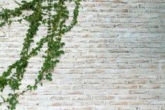 A parede é feita do tijolo e pintada então no branco Há trepadeiras na parede esquerda Fotografia de Stock