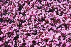 Parede bonita feita de flores roxas violetas vermelhas, rosas, tulipas, imprensa-parede, fotografia de stock royalty free
