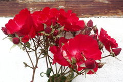 Parede branca velha das rosas selvagens vermelhas Imagens de Stock