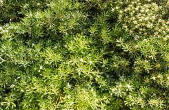 Parede coberta com as folhas verdes e as flores brancas Fundo natural Textura imagem de stock royalty free