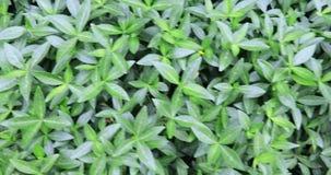 Parede coberto de vegetação com a hera filme