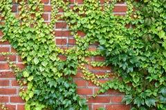 Parede com as uvas Foto de Stock