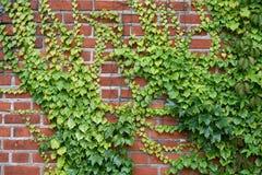 Parede com as uvas Imagem de Stock