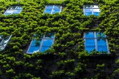 Parede com hera e diverso Windows nele Imagem de Stock