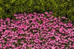 Parede curvada da flor, mapa cor-de-rosa festivo da flor, textura do fundo da flor foto de stock royalty free