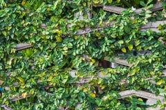Parede da árvore Imagens de Stock Royalty Free