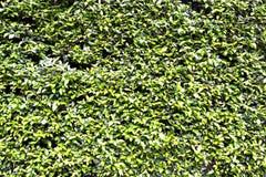 Parede da planta verde Fotos de Stock