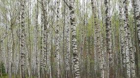 Parede das árvores de vidoeiro Imagens de Stock