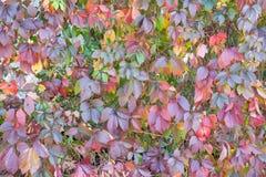 Parede das folhas da videira Fotos de Stock