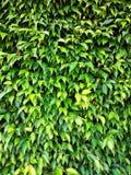 Parede das folhas em um dia ensolarado Fotografia de Stock Royalty Free