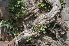 Parede de destruição da raiz velha Foto de Stock Royalty Free