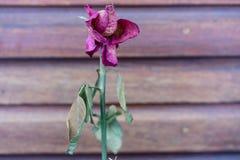 Parede de madeira com a única rosa do rosa já murchada foto de stock royalty free
