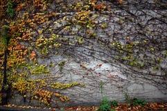 Parede de pedra coberta com a textura da videira Fotos de Stock Royalty Free