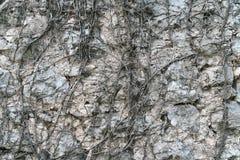 Parede de pedra, coberto de vegetação com a hera murcho Imagem de Stock Royalty Free