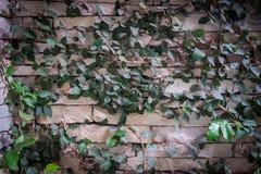 Parede de pedra com rastejamento Imagens de Stock
