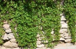Parede de pedra com uvas selvagens Fotografia de Stock
