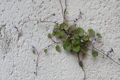 Parede de pedra francesa em Provence com vining a flor tubular roxa foto de stock