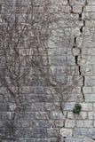 Parede de pedra muito velha com as sobras da hera inoperante secada que escala sobre i Imagens de Stock Royalty Free