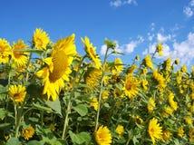Parede de Sunflowers2 Foto de Stock Royalty Free
