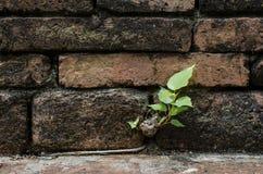 Parede de tijolo antiga e pouca árvore Imagens de Stock Royalty Free