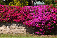 Parede de tijolo coberta com uma flor do bougainvillea fotografia de stock