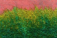 Parede de tijolo coberto de vegetação com as texturas verdes da hera Imagem de Stock Royalty Free