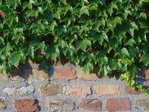 Parede de tijolo com as folhas verdes da hera, fim acima Imagem de Stock Royalty Free