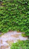Parede de tijolo, com as plantas de escalada de uvas decorativas, castelo que cerca, arenito, alvenaria, junções do cimento foto de stock royalty free