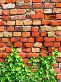 Parede de tijolo com hera Imagens de Stock Royalty Free