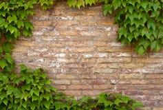 Parede de tijolo com o espaço da cópia quadro pela hera fotos de stock royalty free
