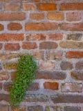 Parede de tijolo com um arbusto verde bonito Imagem de Stock