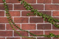 Parede de tijolo com verde e hera para o trabalho de arte Fotos de Stock Royalty Free