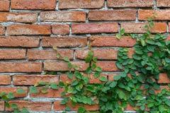 Parede de tijolo velha da textura, fundo, coberto na hera imagem de stock