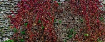 Parede e hera velhas da fortaleza Imagem de Stock Royalty Free